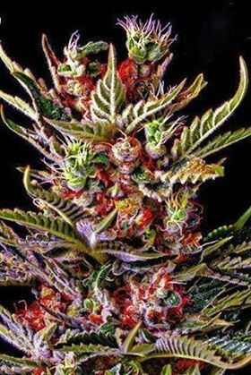 Captivating Cannabis Bud, Natural Rainbow, Cannabis Cures & Hemp