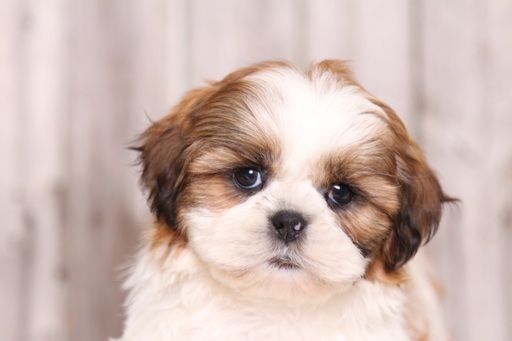 Shih Tzu Puppy For Sale In Mount Vernon Oh Adn 28592 On Puppyfinder Com Gender Female Age 8 Weeks Old Shih Tzu Puppy Puppies Shih Tzu