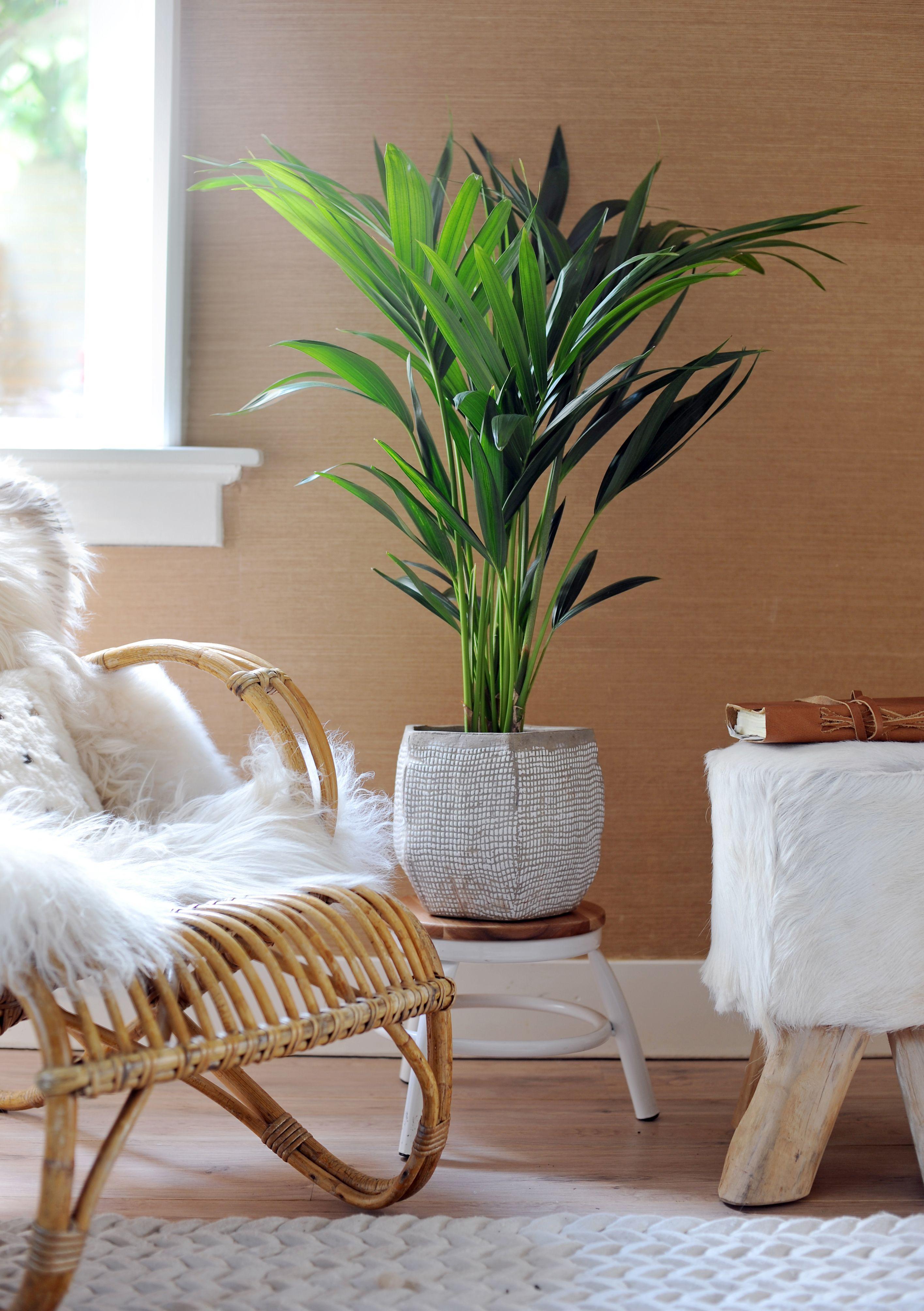 Wohnzimmer Palme ~ Wohnzimmer pflanzen palme raum und möbeldesign inspiration