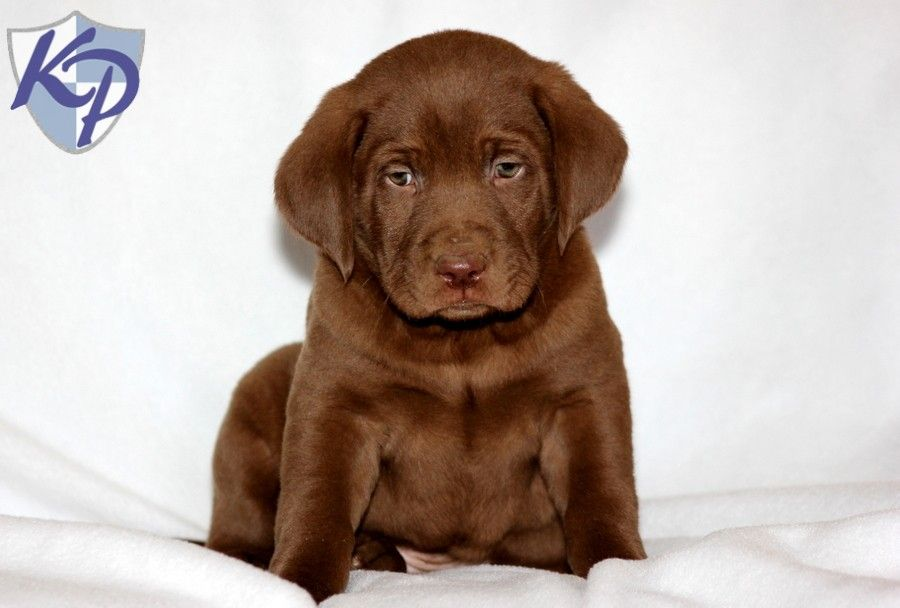Puppy Finder Find Buy A Dog Today By Using Our Petfinder Puppies Lab Puppies Cute Animals