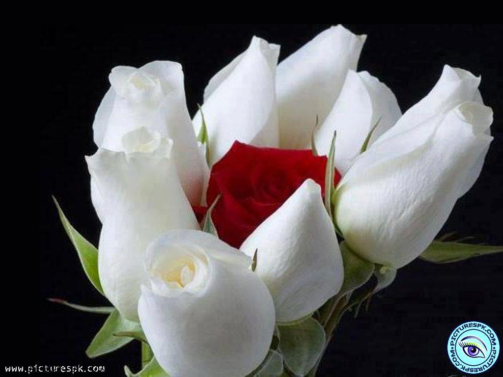 Pix For Gt Single White Rose Wallpaper Beautiful Flowers Pretty Flowers Rose Wallpaper