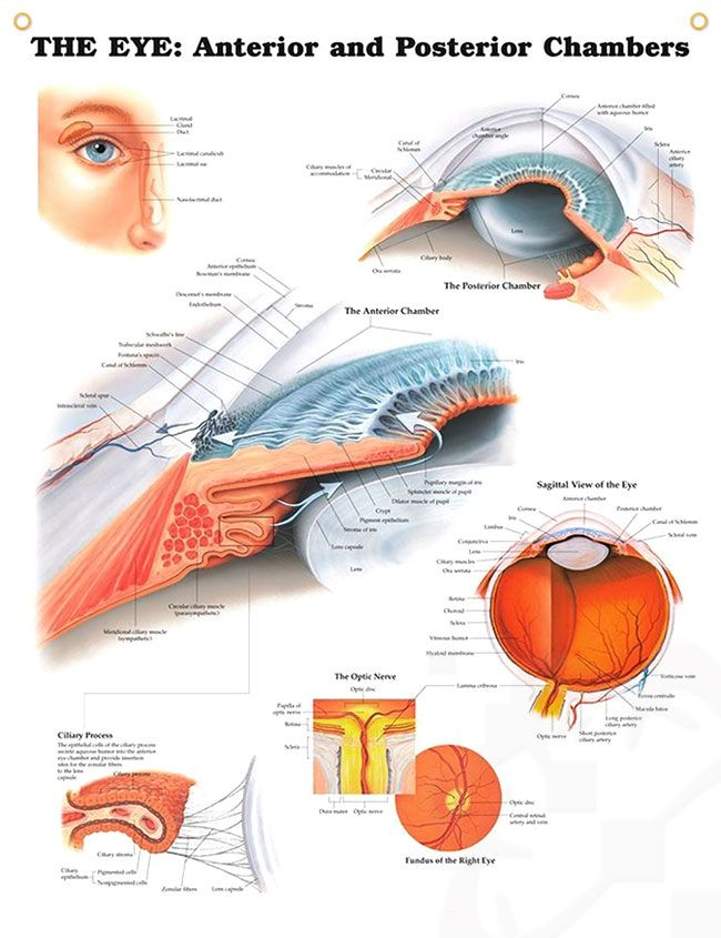 The Eye: Anterior and Posterior Chambers 20x26 | Optic nerve ...