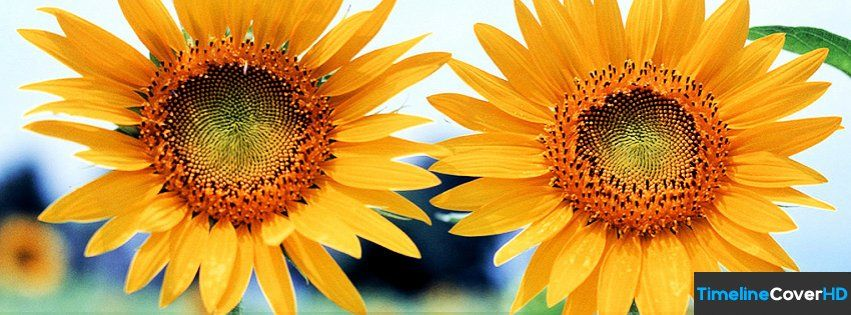Sun Flowers 56 Facebook Timeline Cover Hd Covers