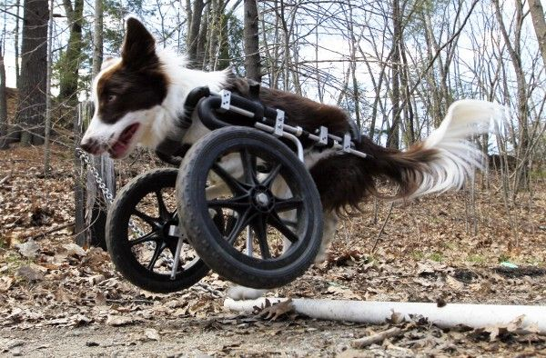 Roosevelt pops a wheelie to get over a pipe during a walk, Saturday, April 7, 2012, in Portland. The $900 custom-built cart compensates for deformed front legs.  His disability has never slowed him down!