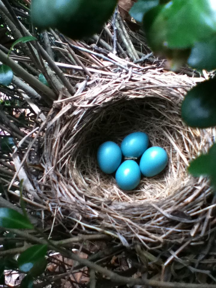 How Long Does It Take For Robin Eggs To Hatch Robins Egg Hatch Eggs