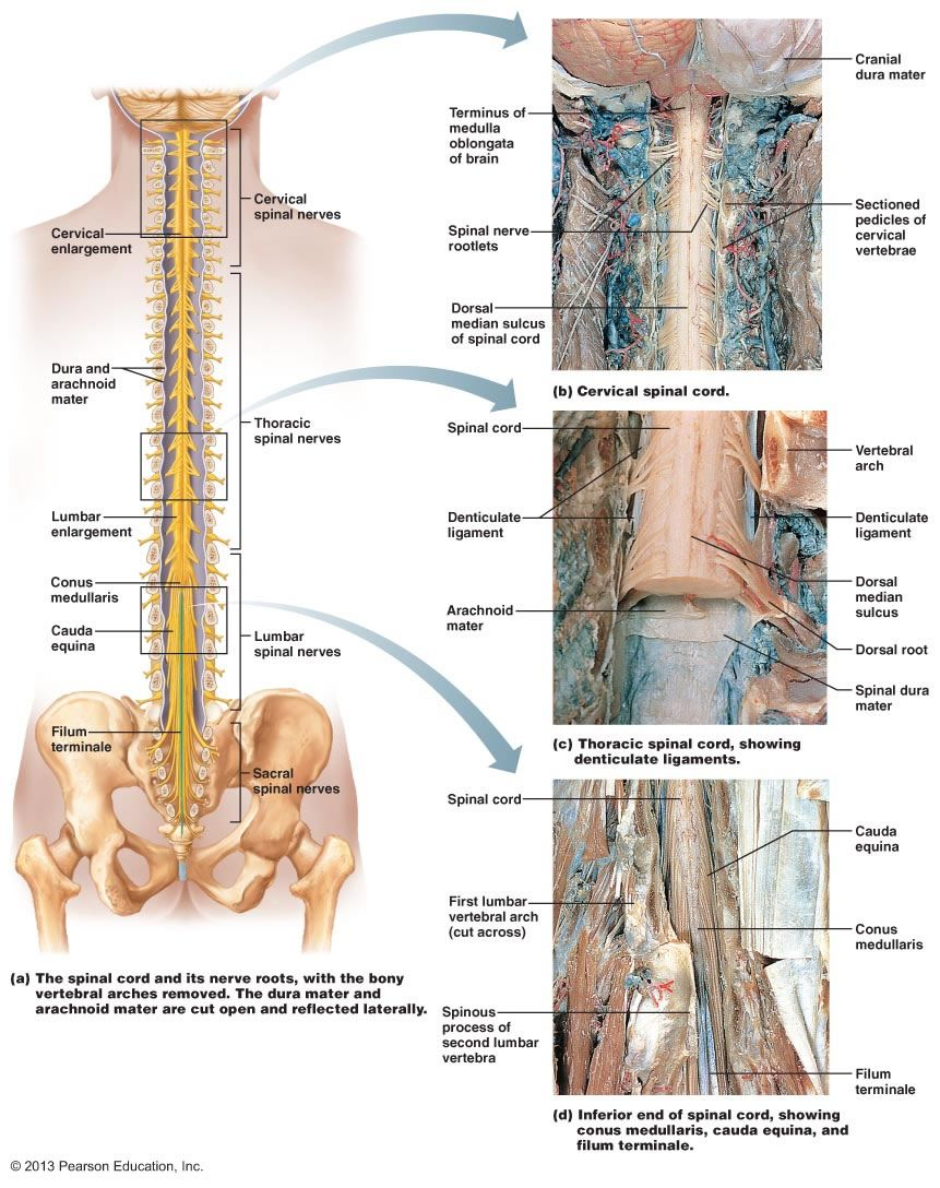 The Central Nervous System | Science Diagrams | Pinterest | Central ...
