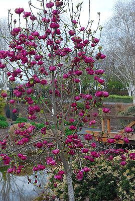 Black Tulip Magnolia 15 20 Ft Height In Person The Flowers Are