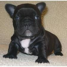French Bulldog Colors Fawn Brindle Cream White Black Brindle