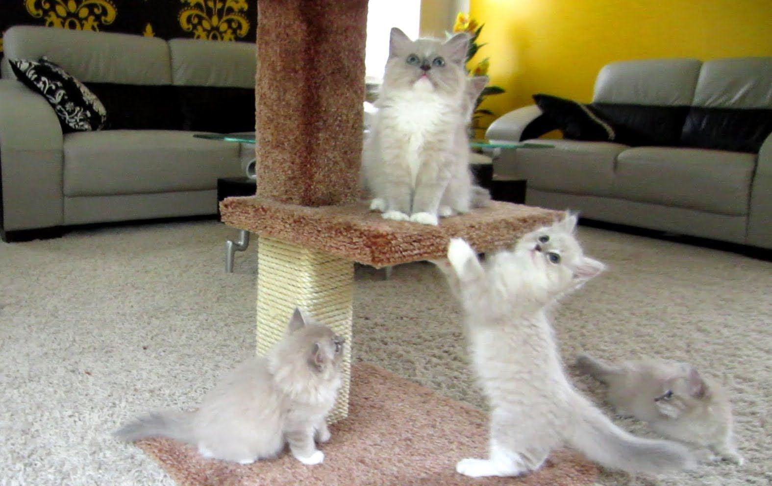 Blue Mink Ragdoll Kittens Play on Cat Tree Ragdoll