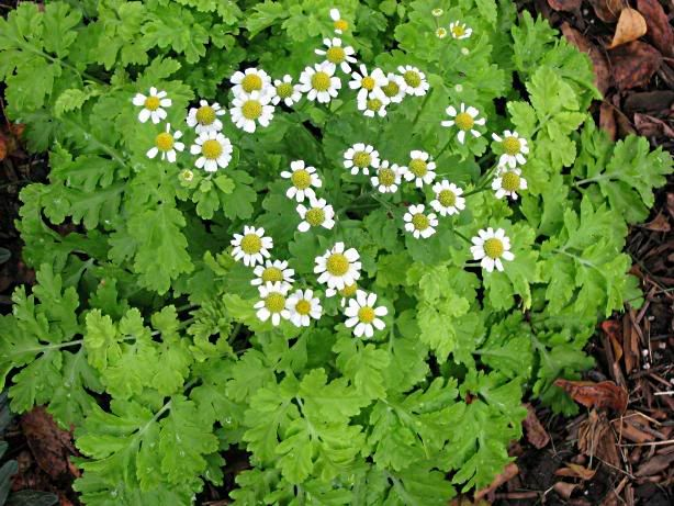 Feverfew Plant Picture Yahoo Search Results Feverfew Plant Herbs Plants