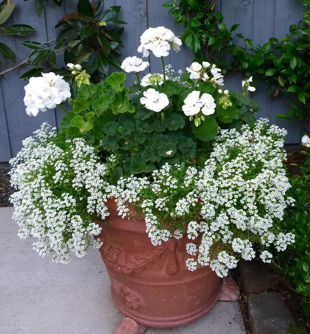 geranium for Japanese beetles and alyssum