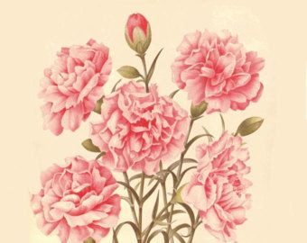 Antique French Botanical Print Pink Carnation Flowers Illustration Digital Download Pink Carnations Carnations Photo Art