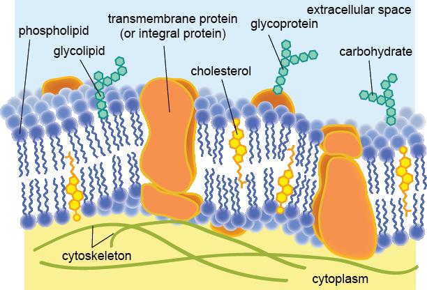 The Plasma Membrane Shmoop Biology diagram of the