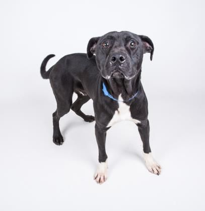 Petango.com – Meet Wylie, a 1 year 6 months Terrier, American Pit Bull / Mix available for adoption in DECATUR, GA