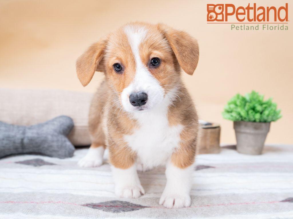 Puppies For Sale Puppy Friends Corgi Puppies For Sale Corgi