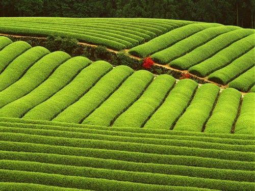 beautiful tea field. I could take a nap here