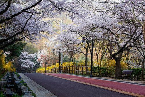 서울, 한국 (남산의 벚꽃)seoul ,nam san tower