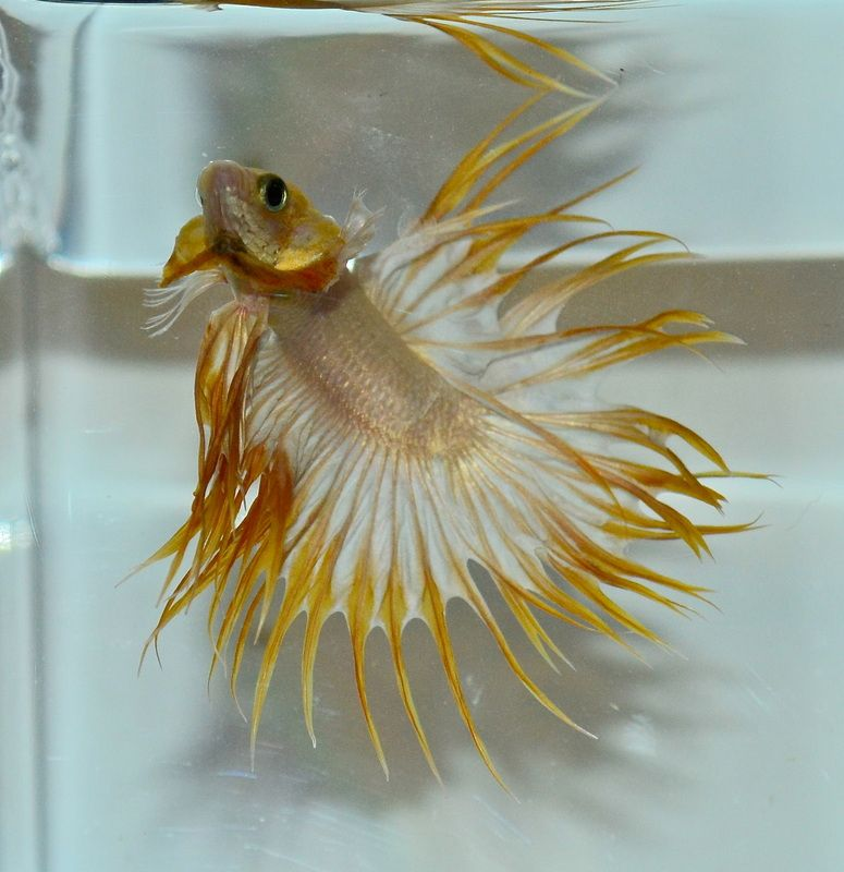 Gold butterfly crowntail