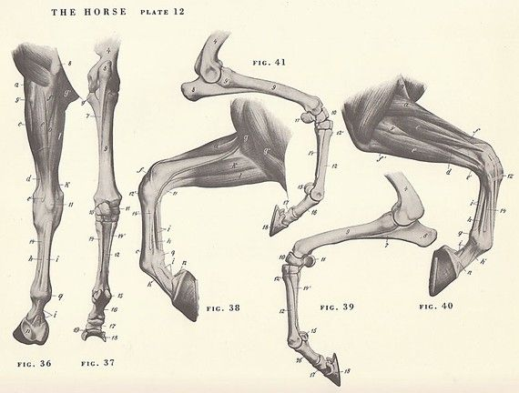 Vintage Horse Leg Hoof Joint Anatomy Illustration Book Page ...