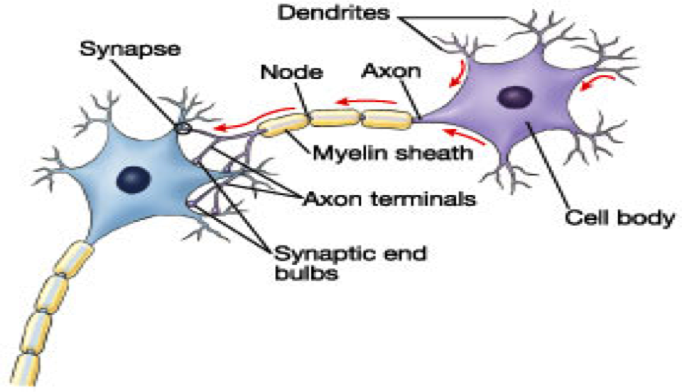Structure Of A Neuron Bulletin Board Neuron Structure Introduction To Psychology Psychology