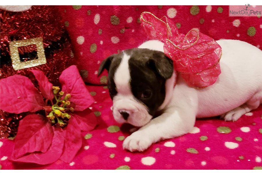 Kung Fu French Bulldog Puppy For Sale Near Houston Texas