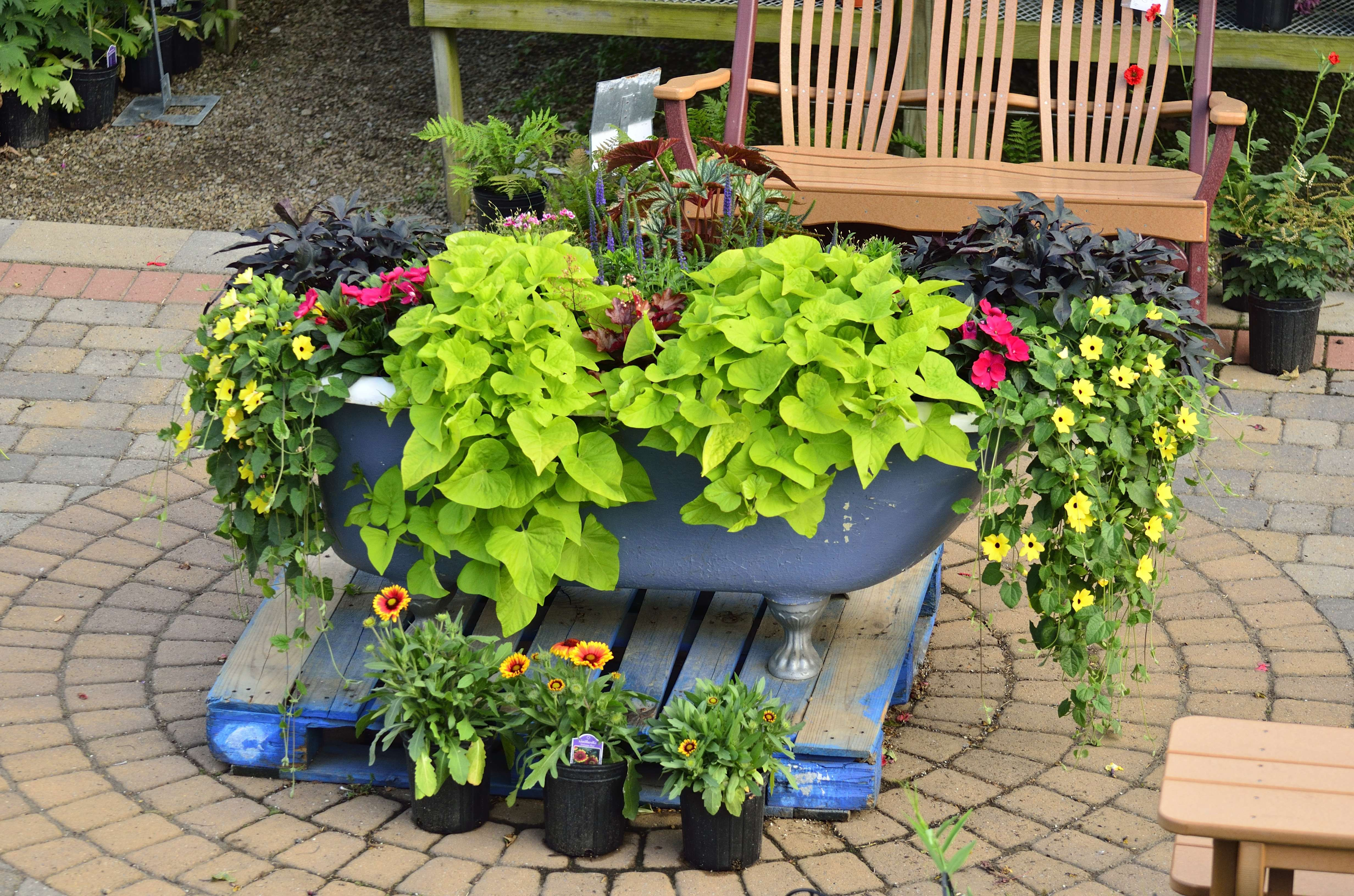 Bathtub planter with ipomea thunbergia sunpatiens - Unusual planters for outdoors ...