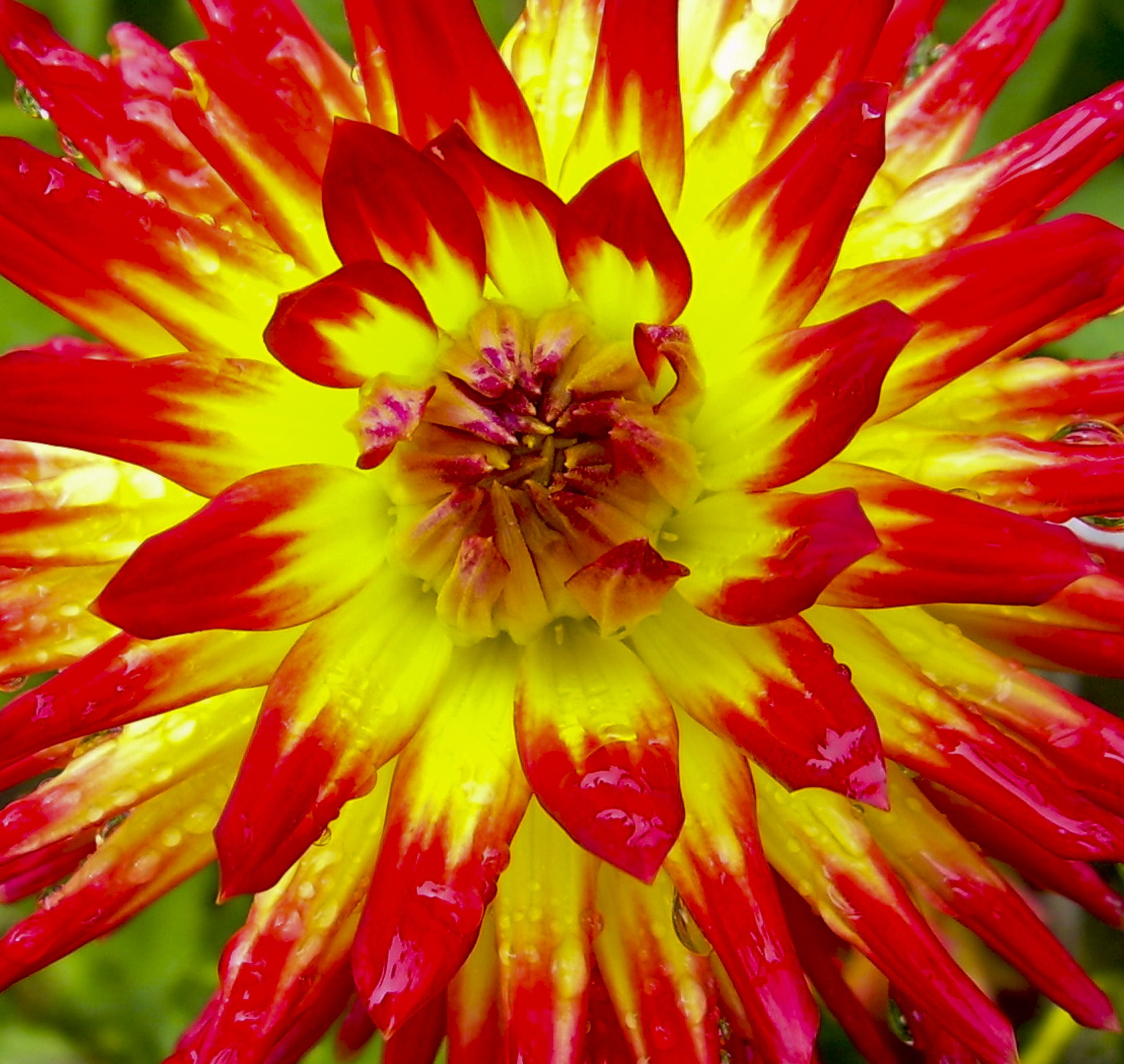 A photograph of a red and yellow dahlia close up. To purchase please ...