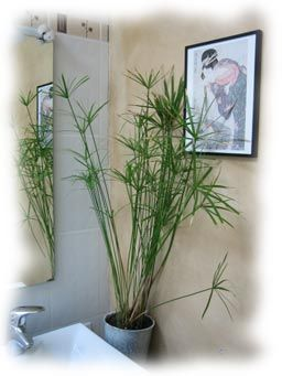 le papyrus un d cor remarquable dans une salle de bain les plantes plante salle de bain. Black Bedroom Furniture Sets. Home Design Ideas