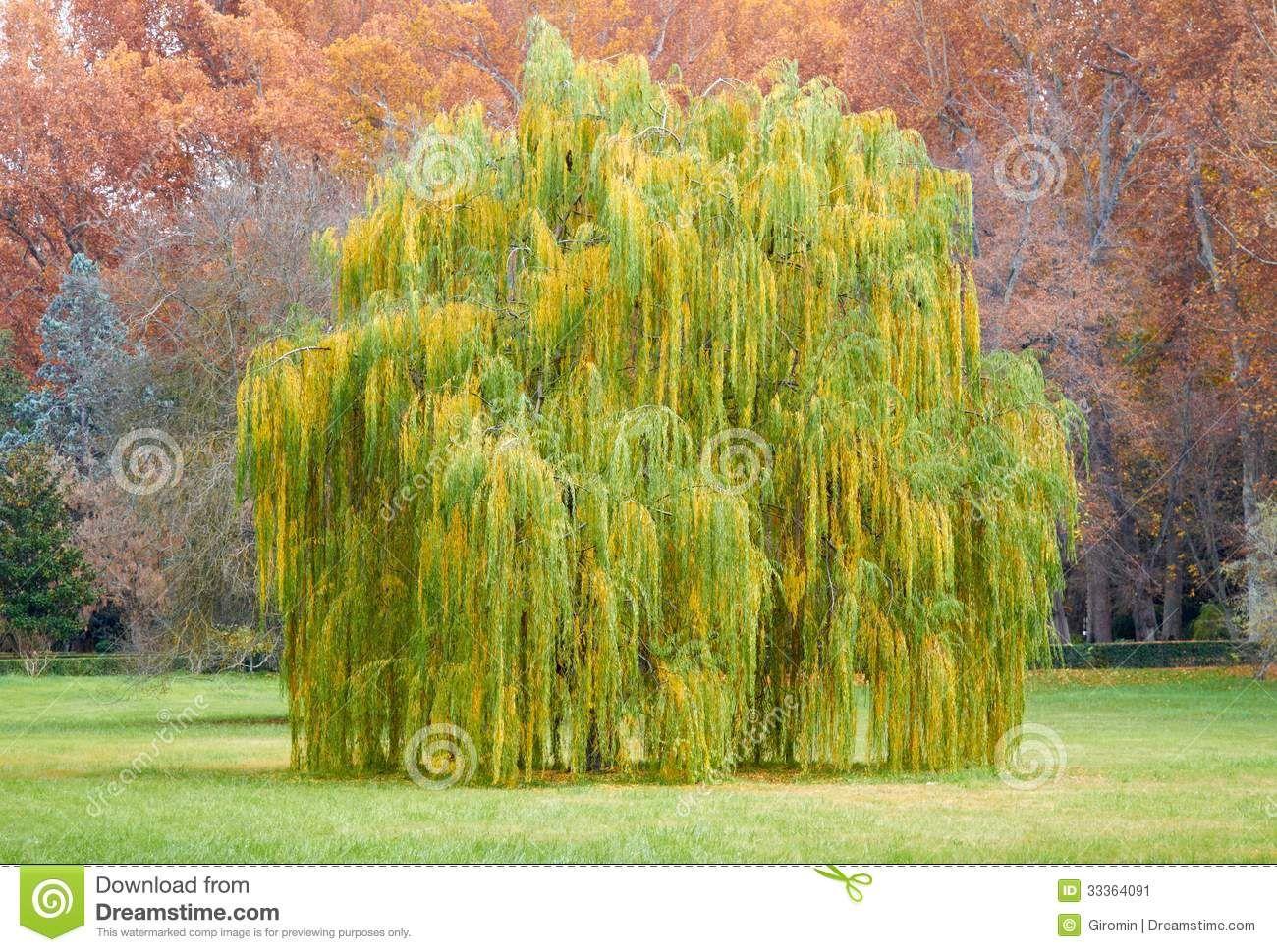 Salix babylonica - Google Search | Dendrologija | Pinterest ...