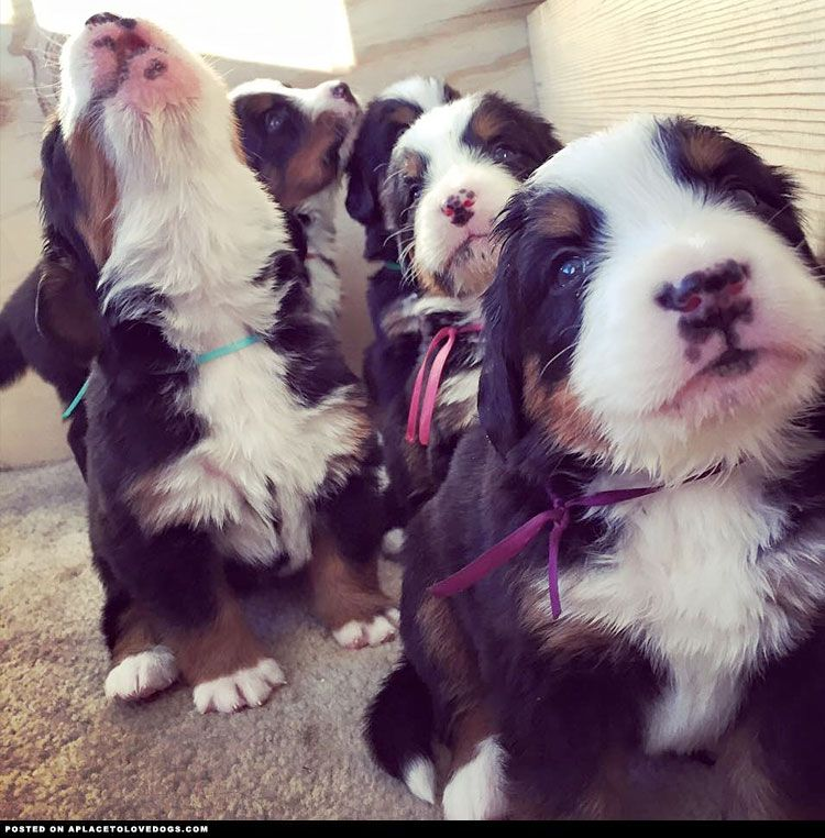 Adorable Bernese Mountain Dog Puppies ::: Visit our poster store Rover99.com