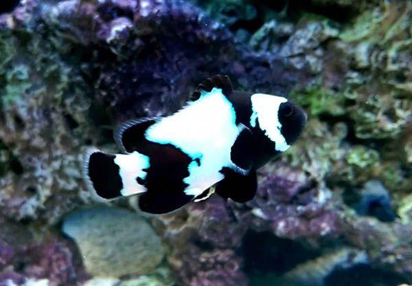 Pin On Clownfish