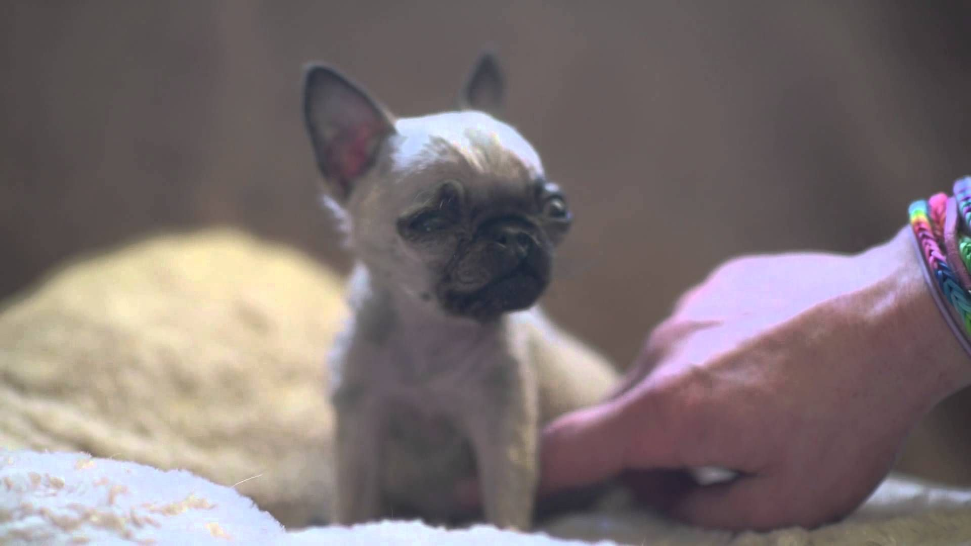 What Only 4 Inches Tall Meet Britain S Smallest Pug Small