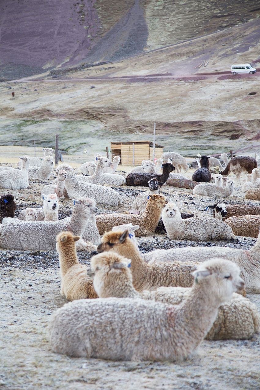 3e94d568eb6cce This picture of Alpaca in their natural habitat is a great way to discuss  camouflage.