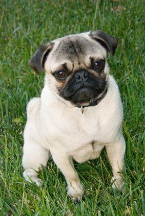 Pugs Reverse Sneezing Syndrome Pug Puppies Puppies Pugs