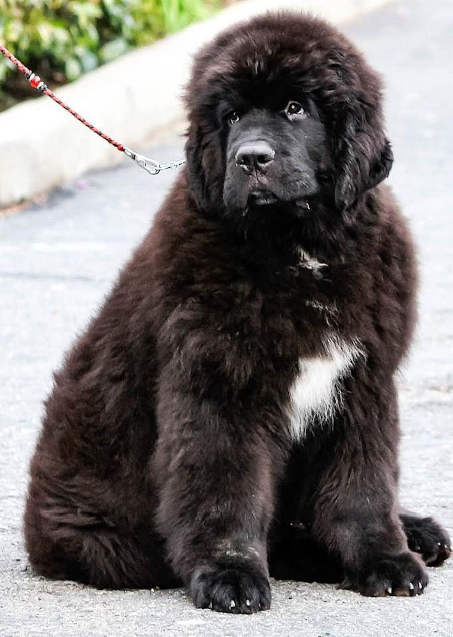 Pin By The Left Handed Twin On My Newfies In 2020 Newfoundland Puppies Newfoundland Dog Dug The Dog