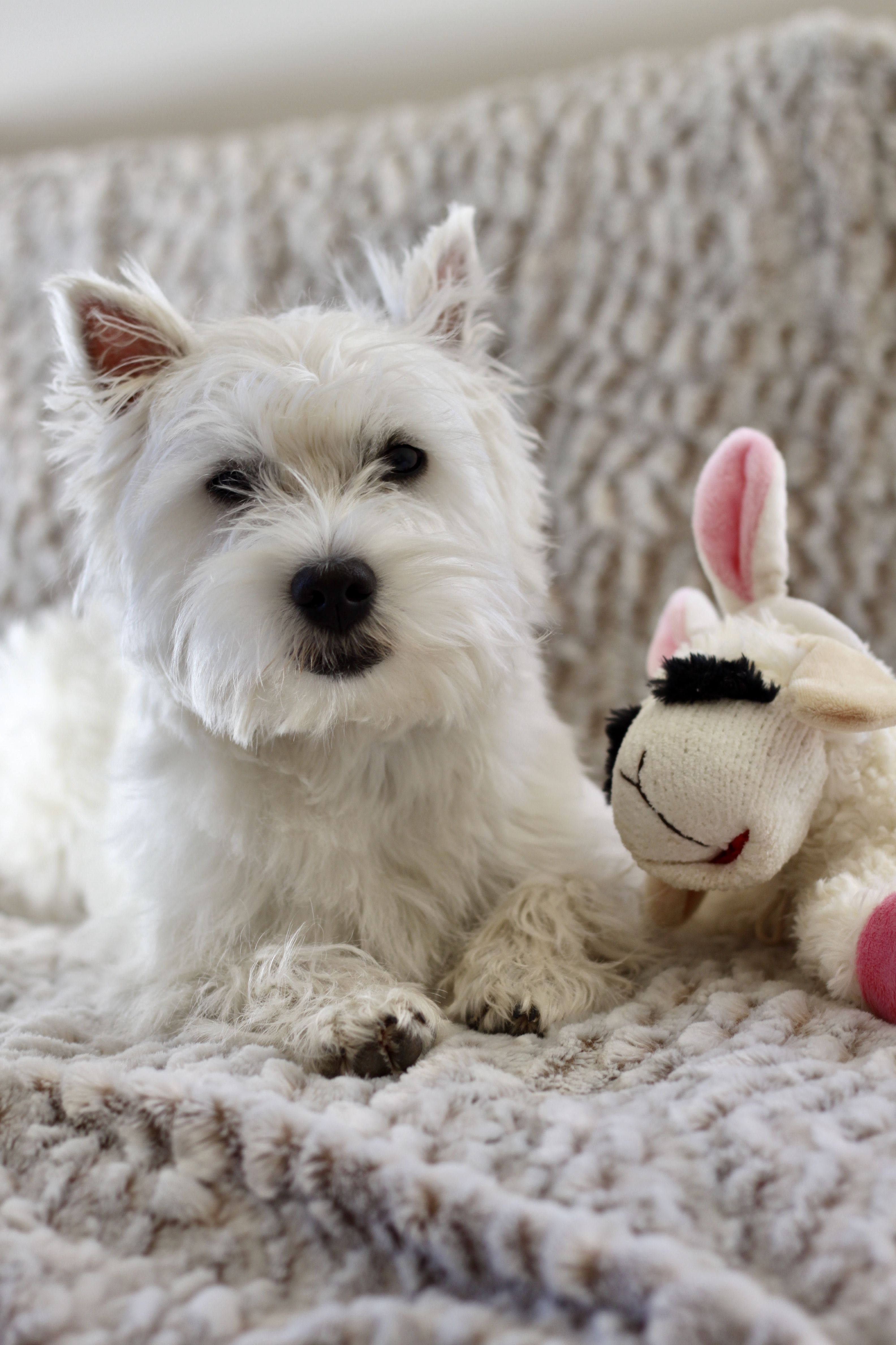 Westie Romy Puppy Chiot 7 Mois Little Dogs Cutest Dog Ever West Highland White Terrier