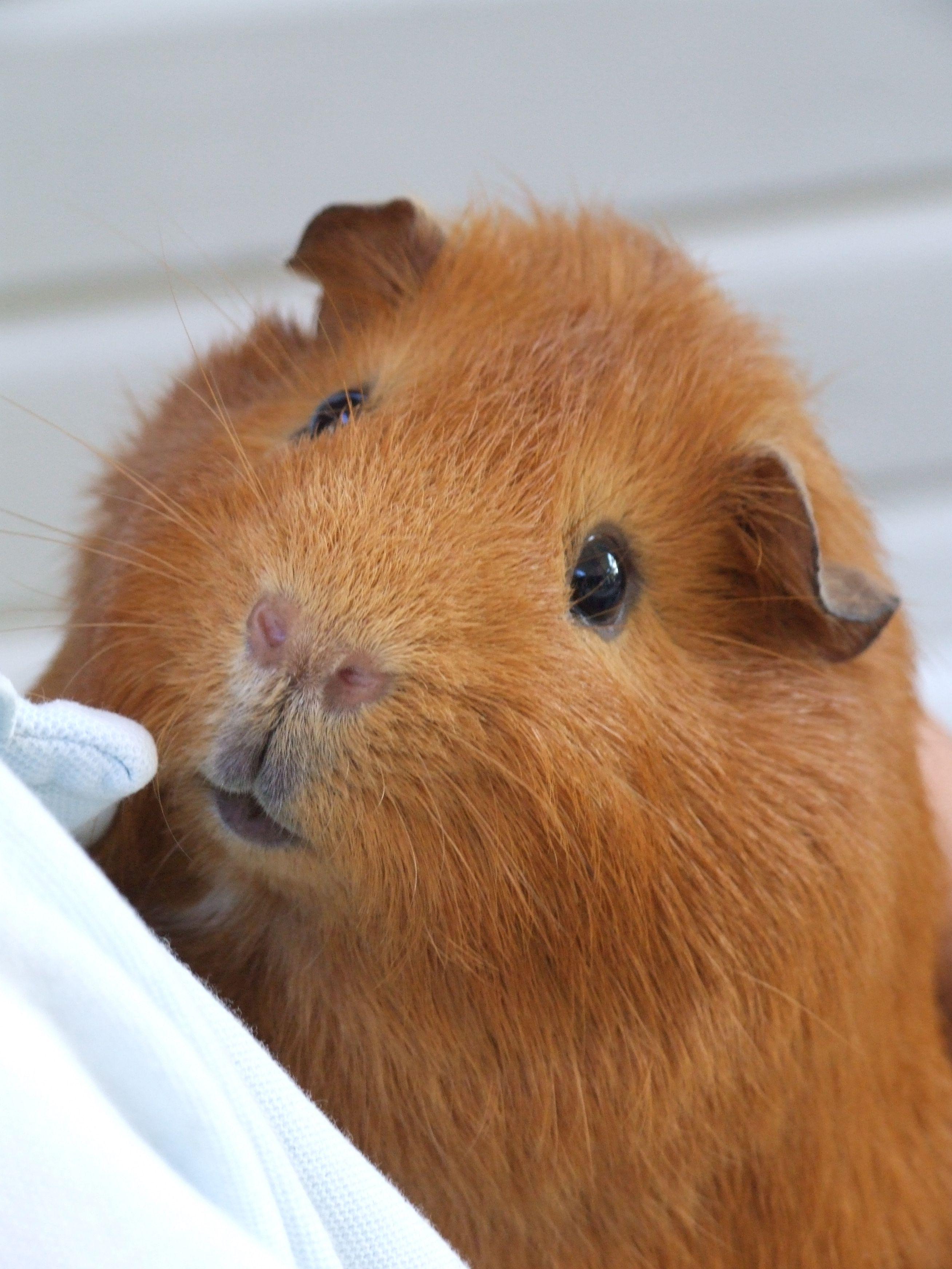 Hellboy! cute guinea pig Cute guinea pigs, Guinea pigs