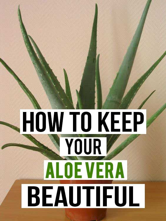 How to Keep Your Aloe vera Beautiful #plants