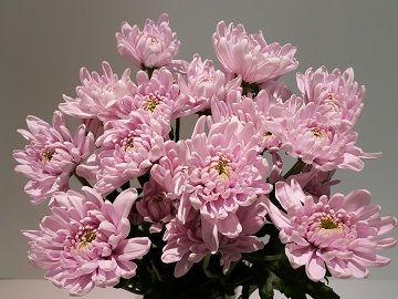 Chrysanthemum Rossano Double Light Pink Flower Garden Floral Wreath Flowers