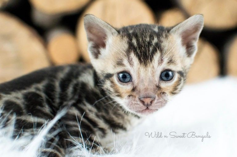 Bengal Kittens Cats For Sale In 2020 Bengal Kitten