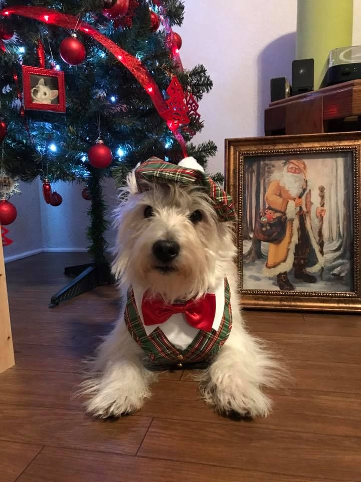 Weezer Christmas.Weezer In His Xmas Outfit Westies Christmas Animals