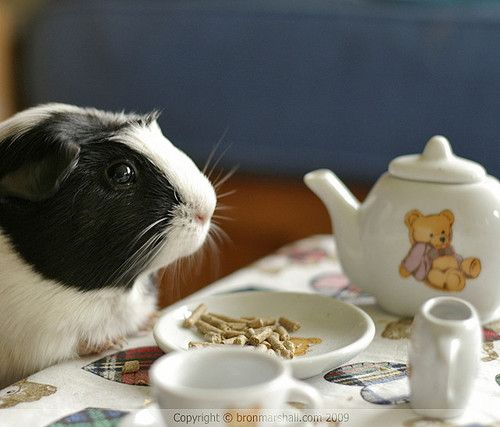 Yes, my daughter would have tea with her guinea pig.