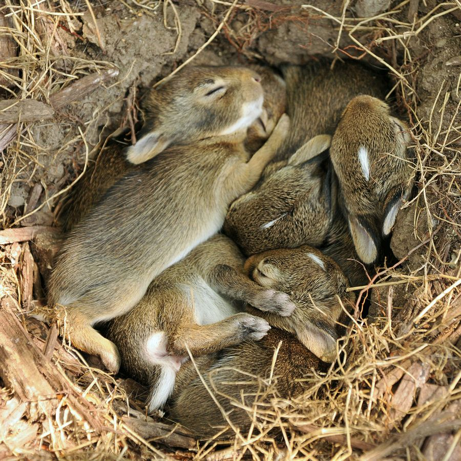 Bunnies Sleeping Every Which Way In Their Nest Cute