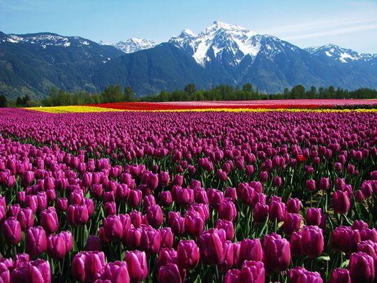 Agassiz Tulip Festival British Columbia Canada Agassiz Tulip Festival Would Be Just Another Field Of Tulips But Tulips Garden Tulip Fields Field Wallpaper