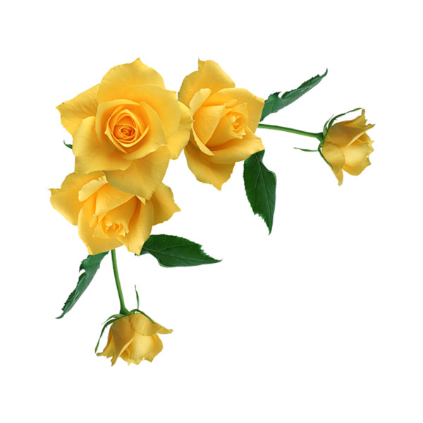 Rose Yellow Clip Art Yellow Rose Png Transparent Picture Rose Flower Wallpaper Rose Clipart Yellow Roses