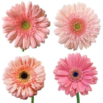 Light Pink Super Gerbera Daisy Fiftyflowers Com Pink Gerbera Gerbera Daisy Daisy Wedding Flowers