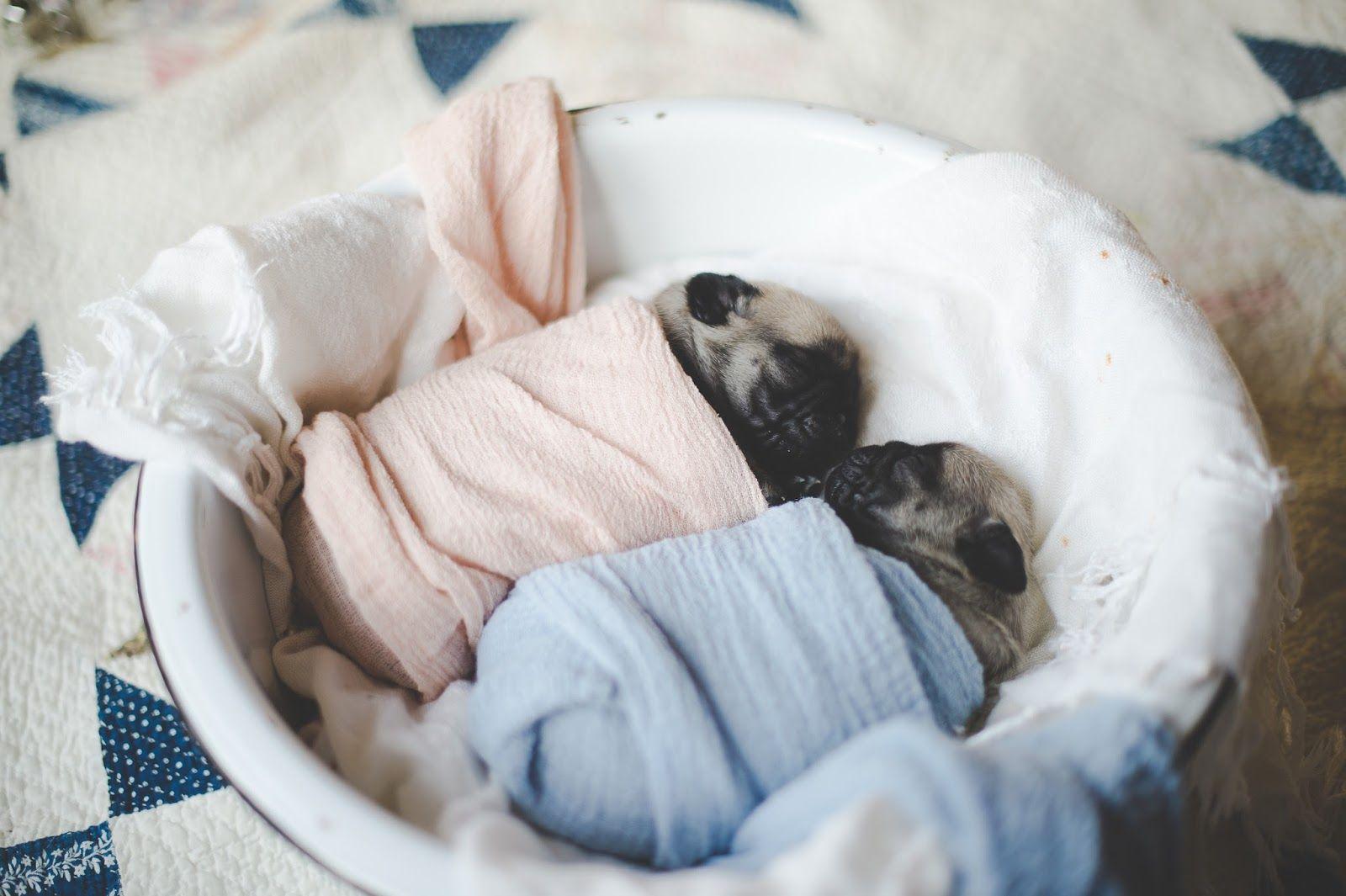 Newborn Pug Puppies Daisy Baby Photography Northern Virginia