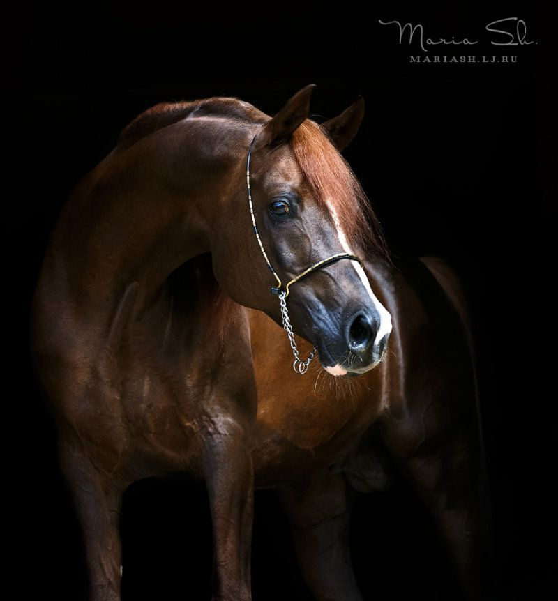 Pointe stallion, ow.  Oksana Bogdanova- Egyptian Arabian?? Chestnut Arabian |