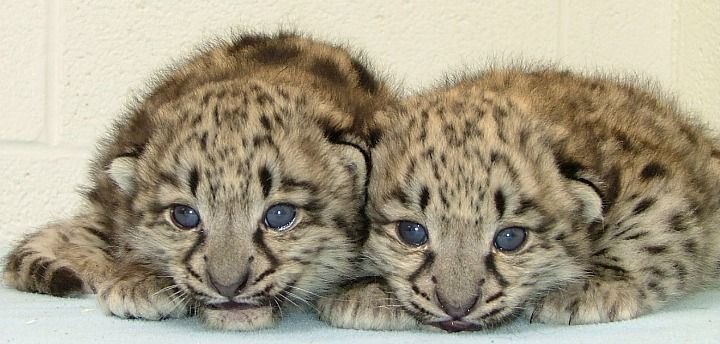 A first for Akron Zoo: A pair of baby Snow Leopards!