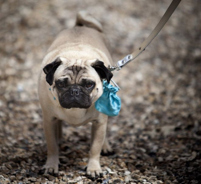 Wedding Pug Wearing Something Blue Etiquette Traditions The New Rules